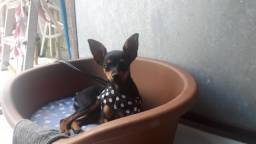Cachorrinha Pinscher