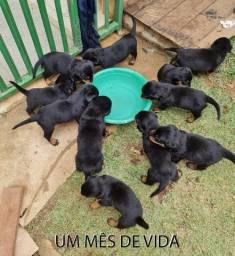 Filhote de Rottweiler 800 Macho e 900 Fêmea