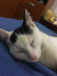 Doação gato castrado