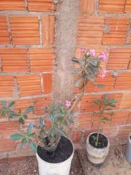 Rosas do deserto(12 unidades 300)