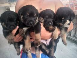 Rottweiler 400R$ (aceito cartoes)