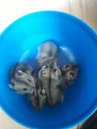 Vende-se filhotes de hamster anão russo