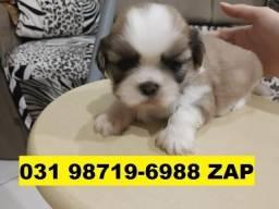 Canil Belos Filhotes Cães BH Lhasa Yorkshire Basset Beagle Shihtzu Maltês Lulu Bulldog
