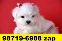 Canil Pet Filhotes Cães BH Maltês Basset Poodle Lhasa Yorkshire Bulldog Shihtzu Pug