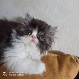 Vende-se filhote fêmea de persa show