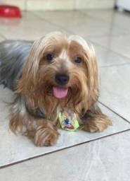Namorada Yorkshire Terrier