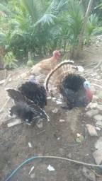 Perus reprodutores e peruas , criados em sítio