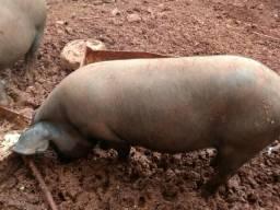 Leitoa, Leitão,Casal de porcos, Capão