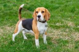 Cachorro Beagle novinho