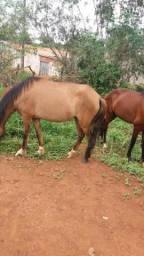 Um cavalo duas éguas