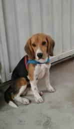 Beagle tricolor 5 meses