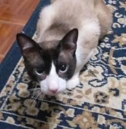 Doação de gato em Sorocaba, gato macho castrado, Jd. Santa Rosália, Sorocaba-SP