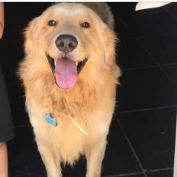 Golden Retriever a procura de namorada