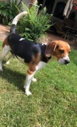 Beagle macho para cruzar