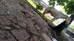 Vendo cavalo da raça manga larga