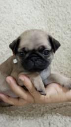 Fêmea de Pug miniatura