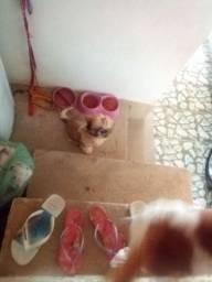 Femea shihtzu 3 meses 1250 reais