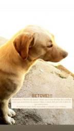 """Labrador á procura de uma companheira. (""""Cruzar"""")"""