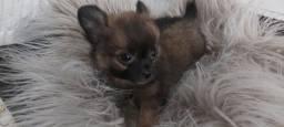 Chihuahua macho pelo longo 2 meses
