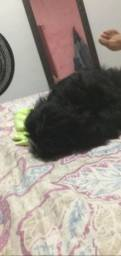 Cachorro chitzu Puro