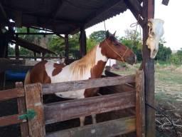Cavalo pampa 4 anos e meio