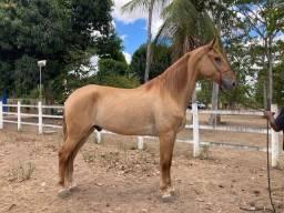 Cavalo Campolina Registrado