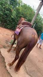 Cavalo Alazão QM Puro Sangue registrado