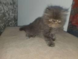 Gatos Persa machinhos