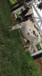 Mini vaca top
