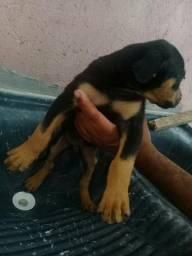 Vendo cachorro misturado dobeman misturado cm Rottweiler Macho tem 2. 350$