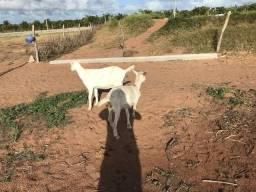 Vendo essa cabra e essa borrega sani
