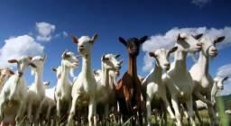 Vendo caprinos fêmeas prenhas