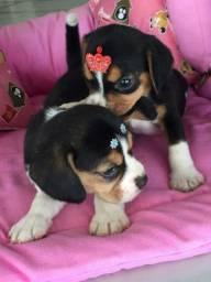 Beagle reservas macho