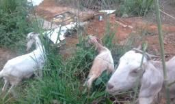 Vende-se 3 cabras e um bode