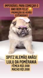 Promoção imperdível! Spitz alemão anão/Lulu da Pomêrania Fêmea R$2.999