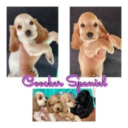 Cocker Spaniel com pedigree e microchip em até 18x