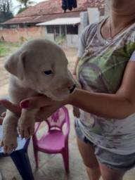 Filhote de Dogo argentino