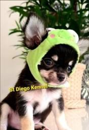 Chihuahua Pelo Longo!