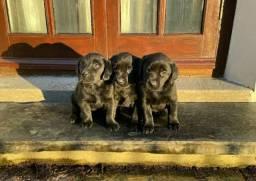 Labrador machinhos e fêmeas disponíveis