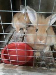 Vendo duas coelhas