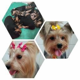 Filhotes Macho Yorkshire Terrier