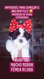 Apaixone-se!!! +TOP Shih Tzu Fêmea R$1.599 Contrato Garantia Compre com Procedência!