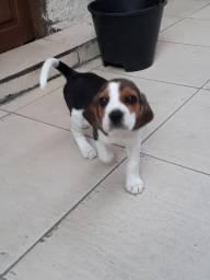 Beagle Filhote Cachorro