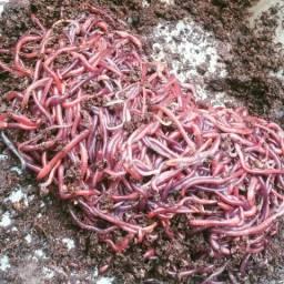 100 minhocas vermelhas da california para compostagem- promoçao