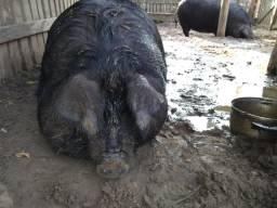 Porcas Macau reprodutoras