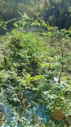 Vendo lindas mudas de jabuticabas rasas Sabará