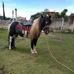Pônei mini horse ( garanhão )