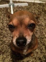 Procurar cachorro pinscher ou zero 0