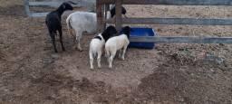 carneiro dorper
