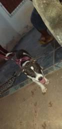 American pit bull terrier fêmea 350